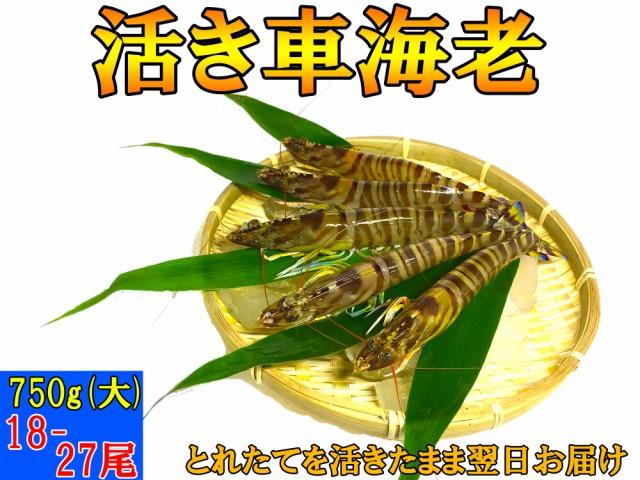 熊本県産 活き 車海老 750g (大)(18-27尾)【大サイズ厳選品】A5ランク【 お歳暮 、贈り物に】【 送料無料 】とれたての車エビから大きい