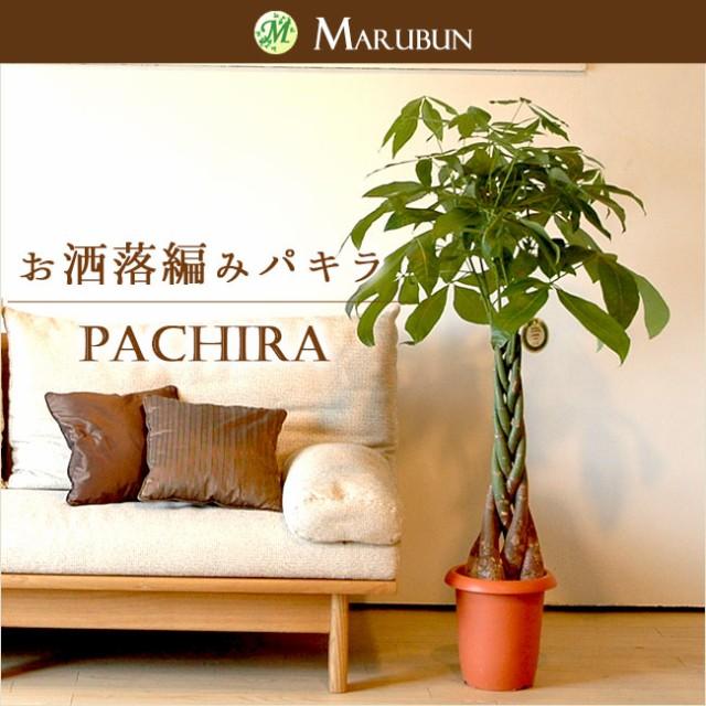 パキラ8号【お値打ちA級品】人気のパキラ5本編み仕立て 受け皿付き