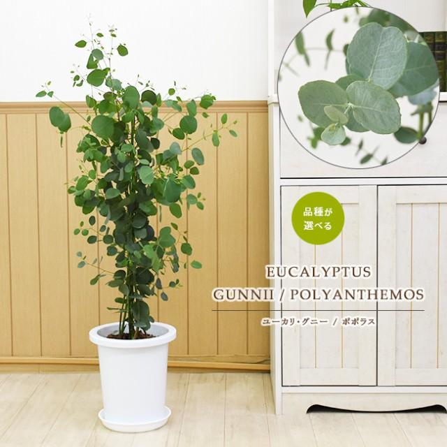 品種が選べる ユーカリ・グニー / ユーカリ・ポポラス(ポリアンセモス)中型8号 鉢植え プラ鉢入り