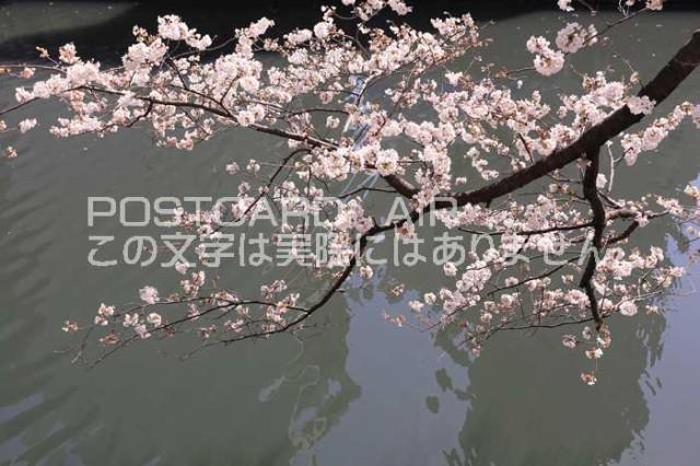 【日本の春の風景ポストカード】神奈川県横浜市大岡川の桜2013年の葉書ハガキはがき photo by MIRO