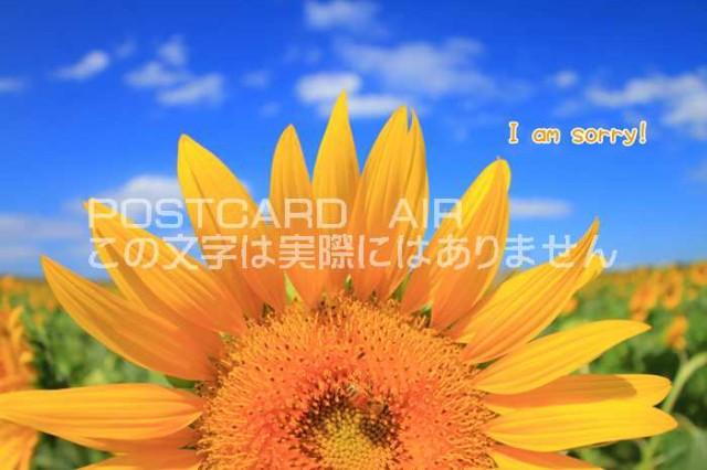 【限定夏の謝罪ポストカード】「I am sorry 」ごめんなさい御免なさいを伝える 向日葵ひまわりのハガキはがき絵葉書