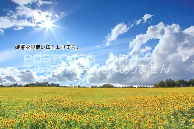 【限定夏の残暑見舞いポストカード】「残暑お見舞い申し上げます。」向日葵ヒマワリひまわりの葉書 はがきハガキ