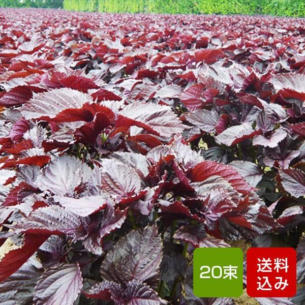 赤しそ 5kg 20束 枝付き 梅干し用 しそジュース用 福岡県芦屋産