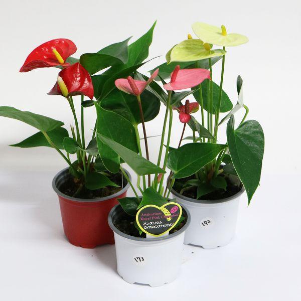 母の日 観葉植物 小さなアンスリウム 観葉植物 ハートの花 赤 白 ピンク 3号 送料別 W10-15 H25-30 鉢植え ランキング おすすめ 贈答 早