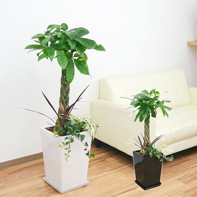 観葉植物パキラ寄せ植え 8号 スクエア陶器鉢植え おしゃれ お祝い 大型 本物 送料無料
