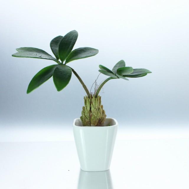 【超ゲリラSALE!】【人工観葉植物 フェイクグリーン】【コーデックス】【造花・光触媒・おしゃれ・本物みたい・手間いらず・リビング・