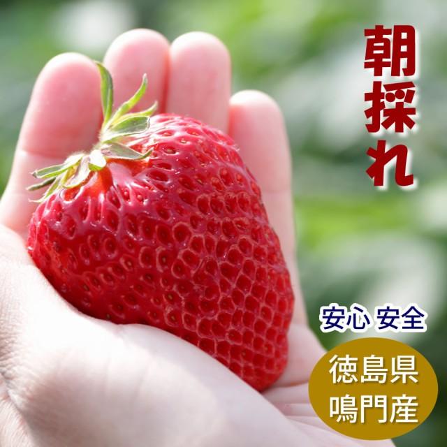 【予約】2021年1月10日より順次発送 朝採れ苺 紅ほっぺ サイズおまかせ6パック UZUSHIO BERYY 徳島県産いちご 洗わなくても食べれる 安