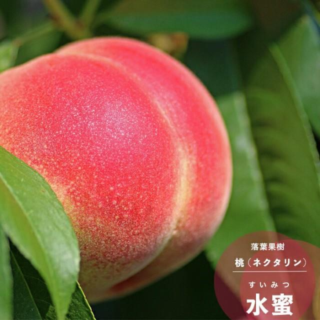 果樹苗 モモ 苗木 水密 1年生 接木 13.5cmポット苗 果樹苗木 落葉樹 もも