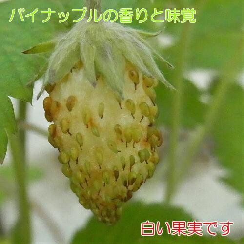 パイナップルの様な香りと味覚のイチゴ(いちご) トロピカルアロマ ポット苗1個