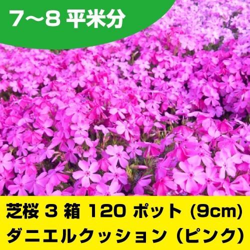芝桜 ピンク ダニエルクッション 120ポット グランドカバー レビュー投稿のお約束で送料無料