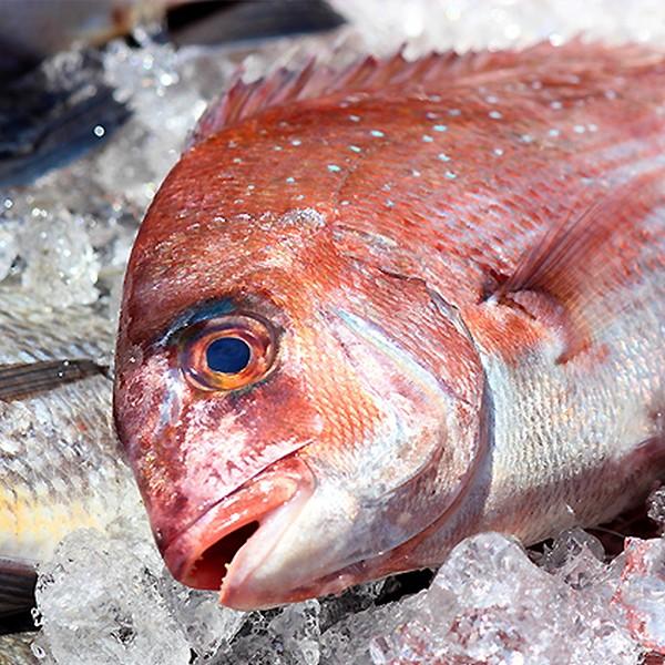 養殖 鯛(たい)1尾(1kg前後サイズ)(国産) 冷蔵便 築地直送 [鮮魚]