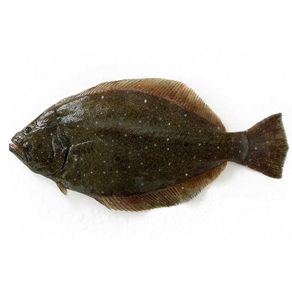 天然 ヒラメ1尾(1-1.5kg前後サイズ)(国産) 冷蔵便 築地直送 [鮮魚]