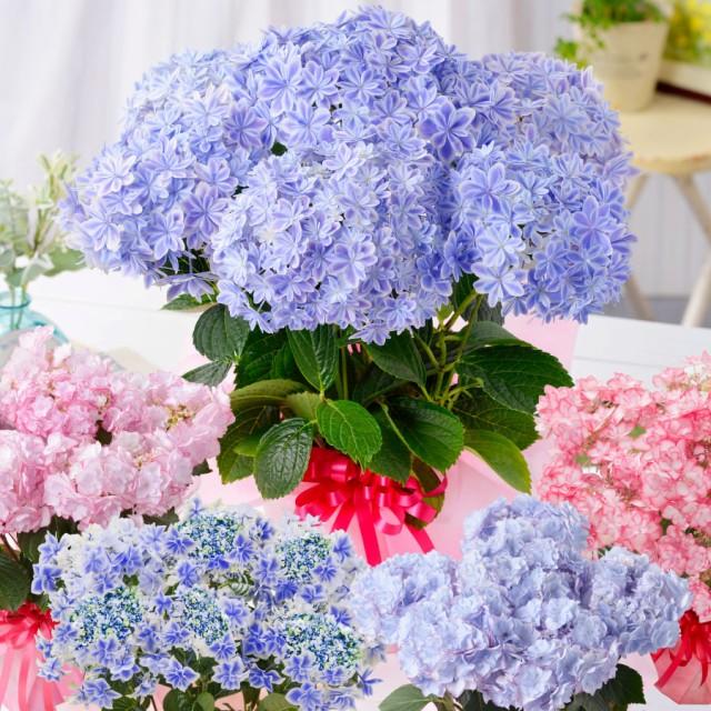 母の日 アジサイ ギフト プレゼント 紫陽花 あじさい お花の好きなお母さんに 超希少種な選べるアジサイ鉢植えセレクション 万華鏡 2021