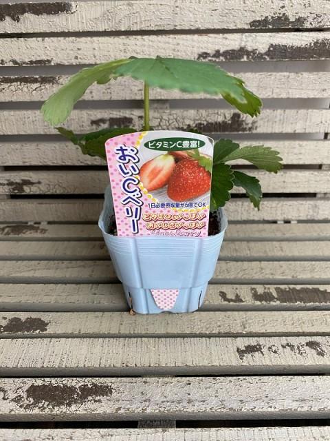 【野菜苗】いちご おいCベリー 9cmポット 1苗