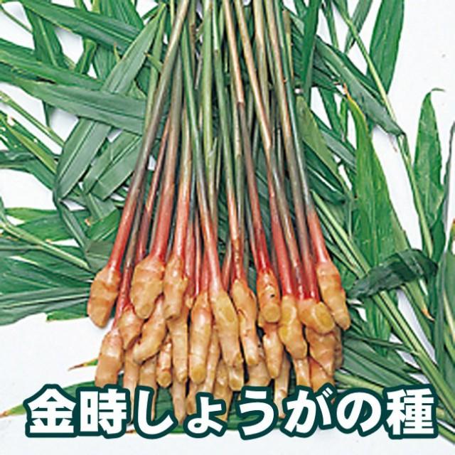 【予約商品】生姜 金時生姜 ショウガ しょうが 種の販売 1kg【充填時】