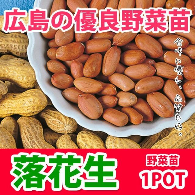 【予約苗】野菜苗 らっかせい ラッカセイ 落花生 苗 1POT【納期指定不可】