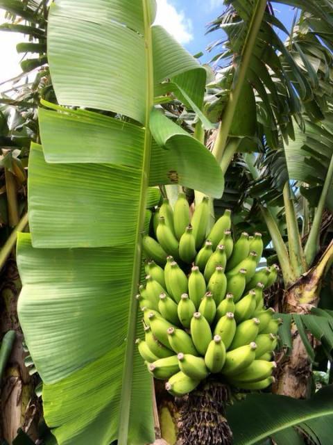 出荷量わずかです!まったり濃厚!希少な沖縄本島産島バナナ 2房