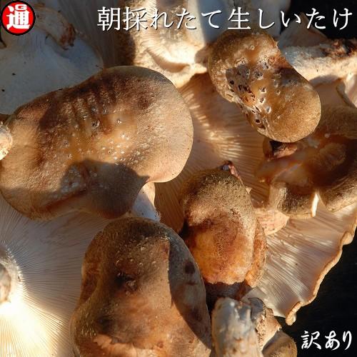 椎茸 しいたけ 1kg 生シイタケ 訳あり 500g×2 味は一級品 朝採れたて菌床栽培 生椎茸