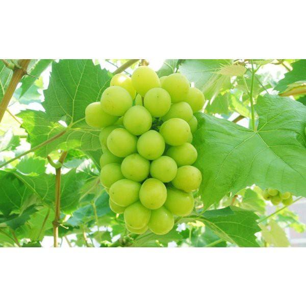 送料無料 山梨県より産地直送 JAふえふき 大型シャインマスカット 5キロ (中大型9から10房入り) ぶどう 葡萄 ブドウ