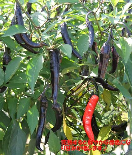 ナント種苗 トウガラシ 紫とうがらし (大和伝統野菜) 20ml