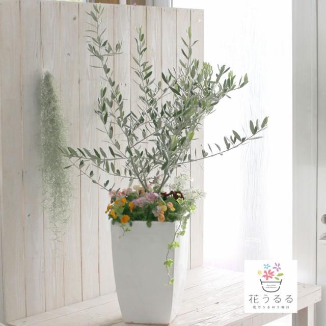【送料無料】「オリーブの木 〜季節の花を寄せ植え(高さ110cm前後)」(オリーブ 鉢植え 開店祝い 店舗 メインツリー シンボルツリー 寄せ
