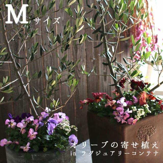 【送料無料】「オリーブの木 寄せ植え in ラグジュアリーコンテナ M(高さ110cm〜130cm)」 ご自宅用 店舗 メインツリー シンボルツリー