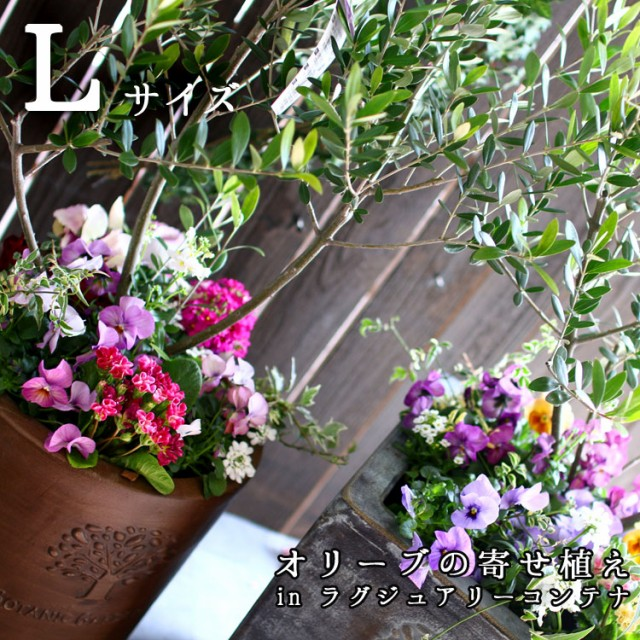 【送料無料】「オリーブの木 寄せ植え in ラグジュアリーコンテナ L(高さ130cm〜140cm)」 開店祝い 開業祝い 店舗 玄関 シンボルツリー