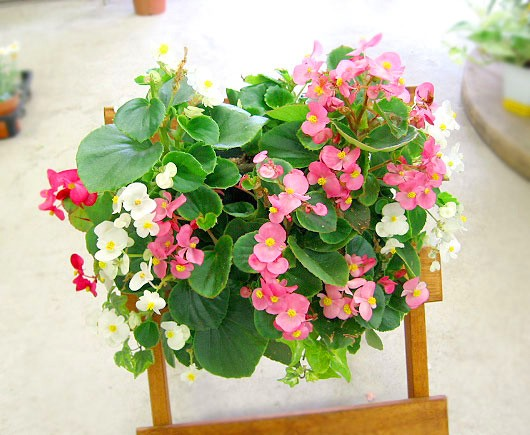 ベゴニアのハンギング寄せ植え [ピーチ(シンプル)] 開花期間:春から晩秋まで(玄関 寄せ植え 春 寄せ植え/セット/ギフト/花/寄植え/鉢植え