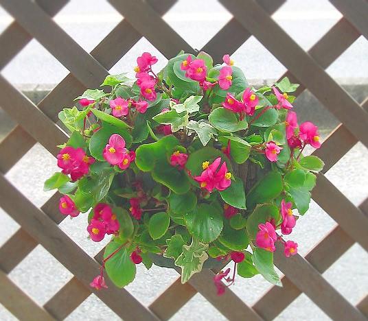 ベゴニアのハンギング寄せ植え [ピンク(シンプル)] 開花期間:春から晩秋まで(玄関 寄せ植え 春 寄せ植え/セット/ギフト/花/寄植え/鉢植え