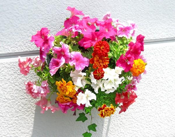 [Lサイズ] ペチュニアのハンギング寄せ植え [ピンク オパール] (寄せ植え/セット/ギフト/花/寄植え/鉢植え/壁掛け/ハンギング/春/夏/通
