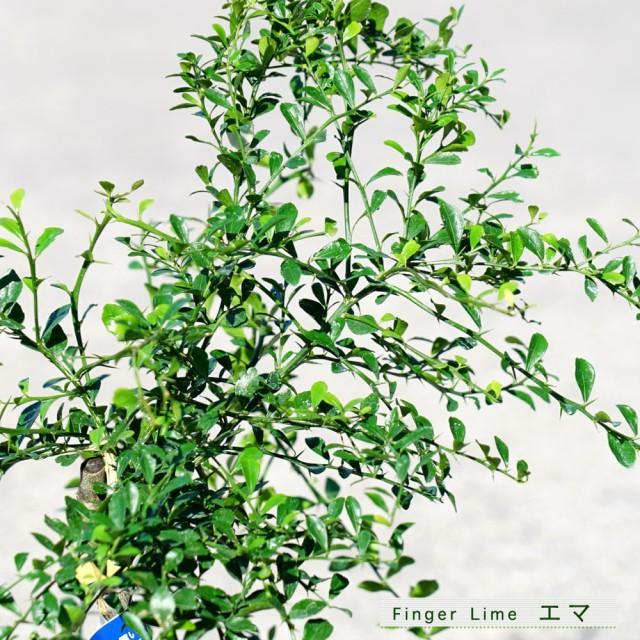 【フィンガーライム 苗木】 果皮:黒 果肉:白実 「エマ」 (森のキャビア) 1年生 接ぎ木苗