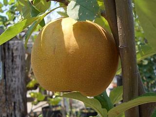 【梨 (なし) 苗木】幸水 1年生接ぎ苗 果樹苗木 ナシ