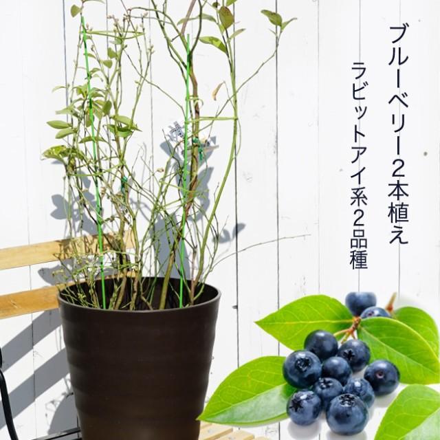 ■送料無料■【 ブルーベリー 苗木 】 アベックブルーベリー ( 2本植え ) フレグラーポット ラビットアイ系 果樹 果樹苗木