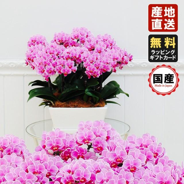 ミニ胡蝶蘭 ギフト タルト鉢 9号鉢 12本立 ピンク/お花 プレゼント 生花 鉢植え 開店祝い 母の日 父の日 敬老の日 おじいちゃん おばあ