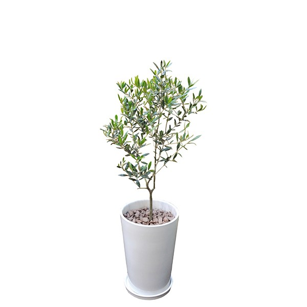 観葉植物 オリーブ 80cm 陶器L 大型 InterPlantsnetインタープランツネット インテリアプランツ 開業祝い 新築祝い ギフト 春 新生活