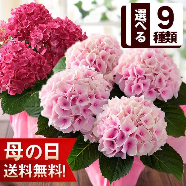 母の日 プレゼント ギフト 花 鉢植え アジサイ 4号鉢 イベントギフトR 2021 送料無料 メッセージカード