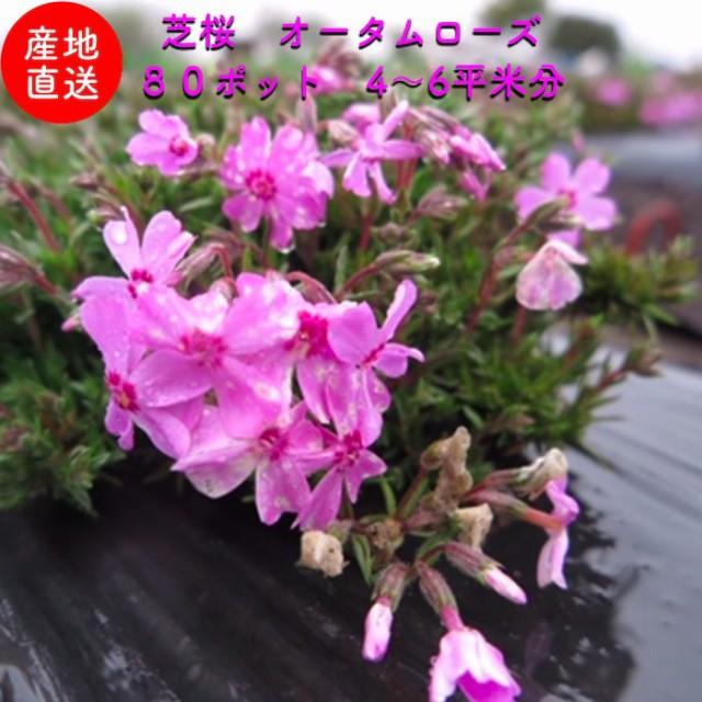 芝桜 ピンク色(桃色) オータムローズ 9cmポット 80株 シバザクラ グランドカバー 送料無料
