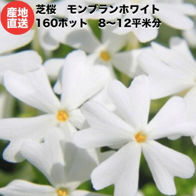 芝桜 白色 モンブランホワイト 160ポット グランドカバー 送料無料