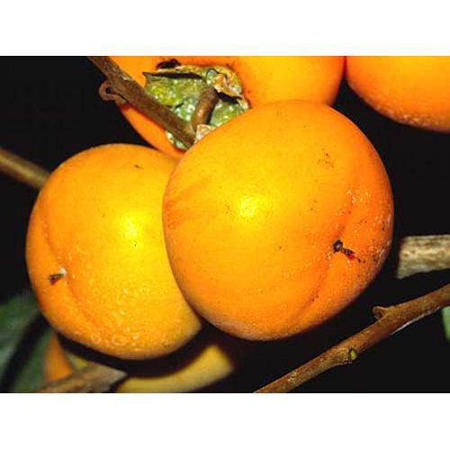 果樹苗 渋柿 平種無 ( ひらたね ) 1年生苗木