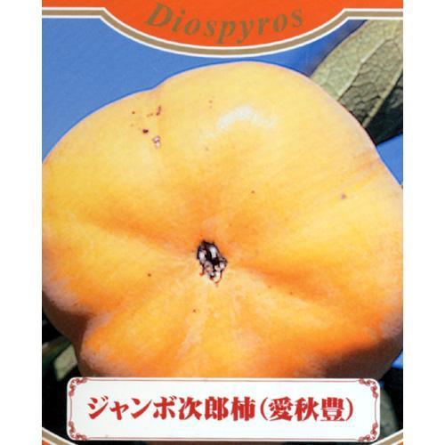 果樹苗 甘柿 ジャンボ次郎柿 1年生苗木