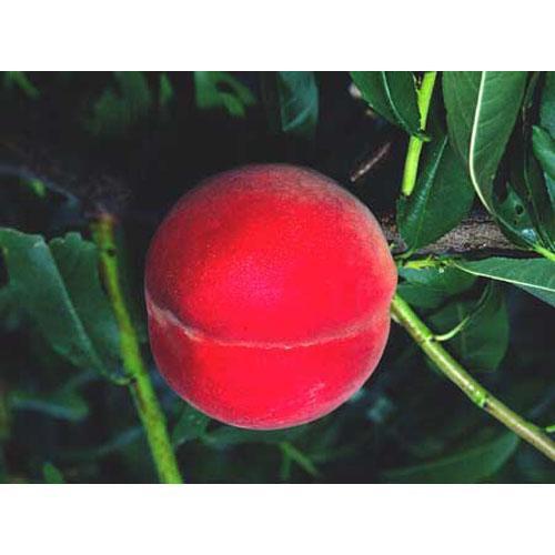 果樹苗 桃 大久保 ( おおくぼ )1年生苗木