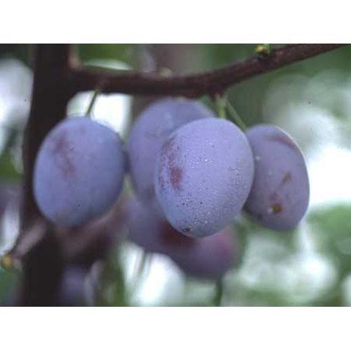 果樹苗 プルーン シュガープルーン 1年生苗木