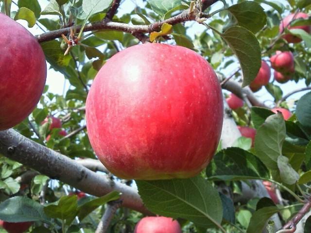 りんご 早生ふじ 山形県産 5kg 特秀 13玉〜20玉入り 予約商品