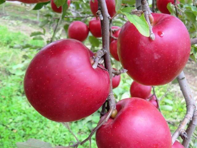 りんご 紅玉 山形県産 5kg 秀 18玉〜23玉 予約商品