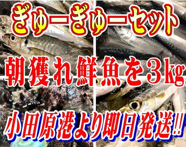 小田原 朝獲れ ぎゅうぎゅうセット 3kg 【その日に水揚げされた鮮魚の詰合せ】早朝、競り落とした魚を詰め込んで即日配送いたします【冷