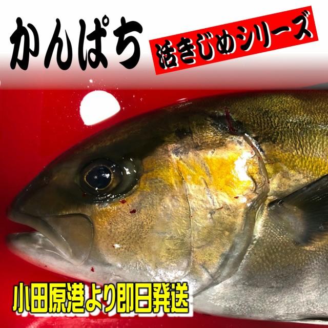 かんぱち・活き締め・約3.0kg 刺身用・生食用【小田原港より即日発送/うまいもの市場・活〆シリーズ】鮮度重視、旨味が違います