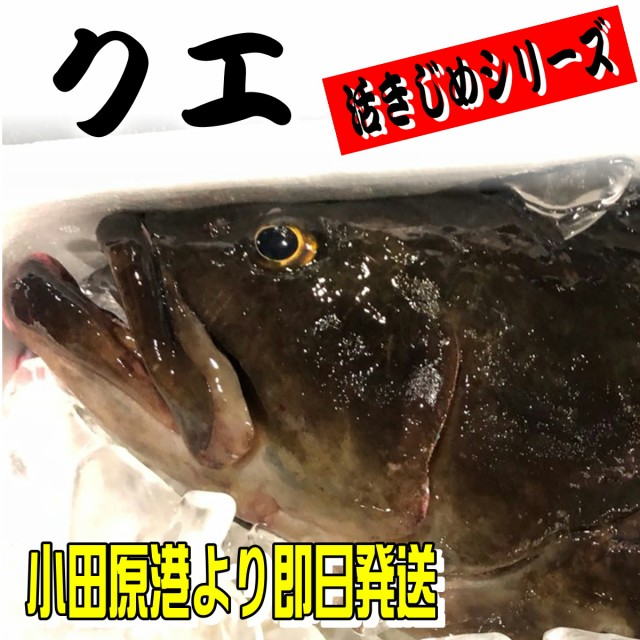 クエ【たまくえ】 (活じめ・養殖)約2.5kg前後 刺身用【高級魚・うまいもの市場活じめシリーズ】(冷蔵便)