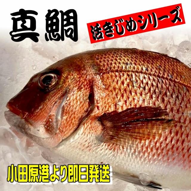 真鯛 活き締め 約1.5kg 刺身用・生食用 【 小田原港 より 即日発送 うまいもの市場 活〆シリーズ 】 鮮度重視、旨味が違います 【冷蔵