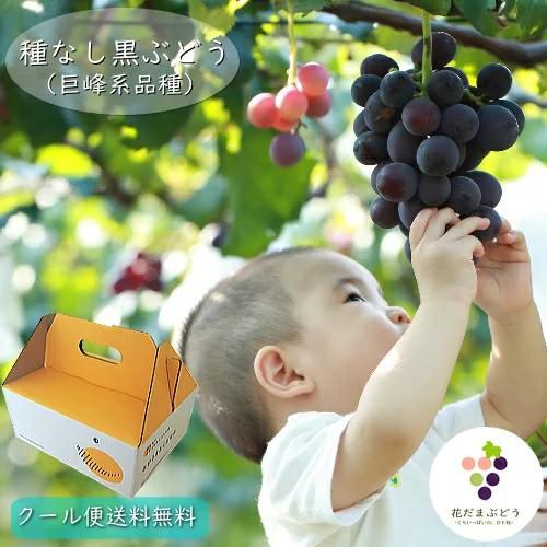 【予約】種なし黒ぶどう約1kg(2〜3房)(BKシードレス)送料無料 クール便発送 巨峰系の新品種【8月中旬頃から収穫開始】
