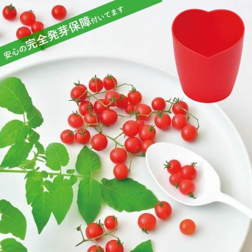 マイクロトマト ミニミニトマト 栽培セット 発芽保障 栽培キット 聖新陶芸 かわいい